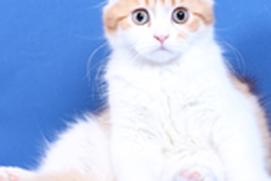Cats: The Scottish Fold