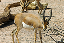 Les Gazelles En Photos