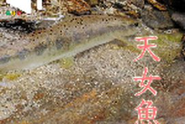 Japanese Fishing Photo Book - 天女魚 amago -