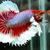 Mengenal Ikan Cupang