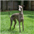 ItalianGreyhound
