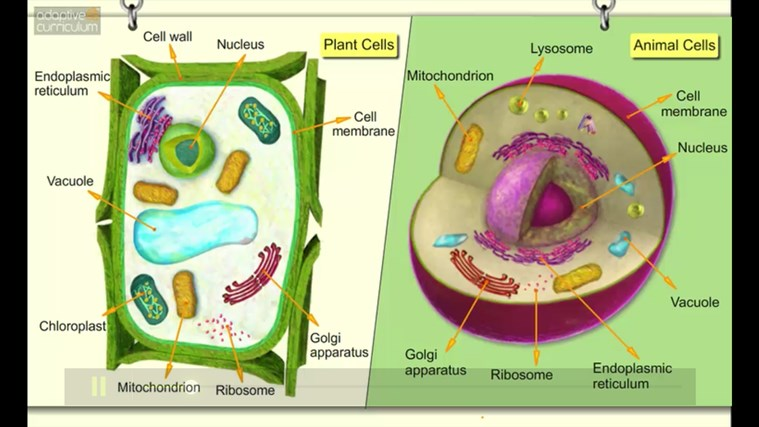 ac life science  comparing plant and animal cells for