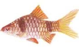 Endemic Fish in Sri Lanka