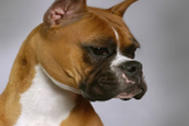 Dogs: Boxers